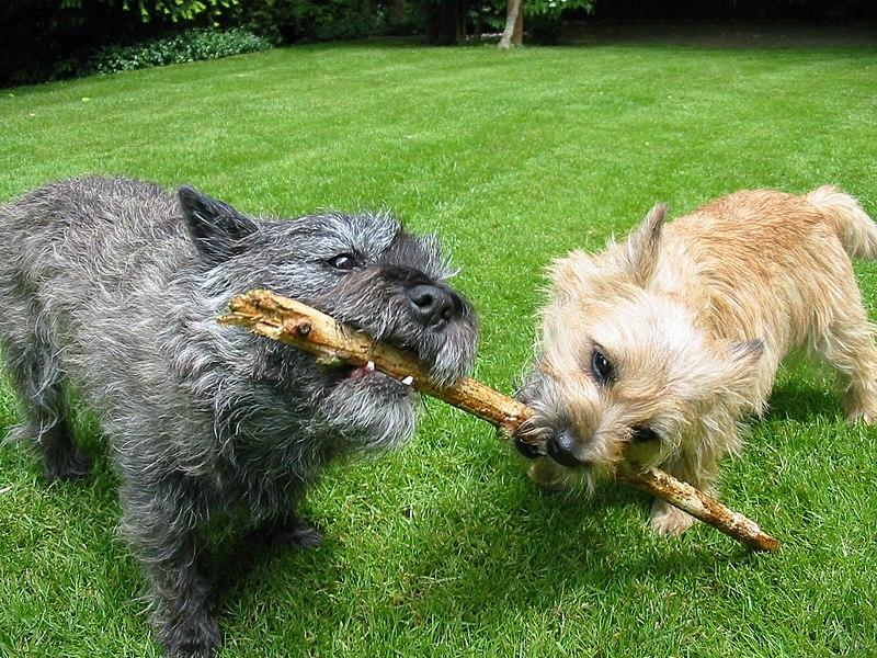 File:Cairn-Terrier-Garten2.jpg