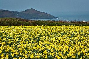 English: Daffodil field in South East Cornwall