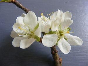 Cherry plum flower Română: Floare de corcodus