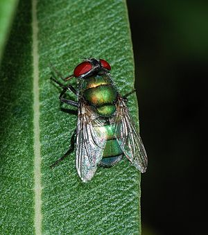 A blow fly (Female Chrysomya albiceps)