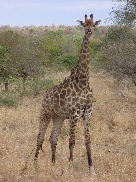 Giraffe im Krugerpark in Südafrika