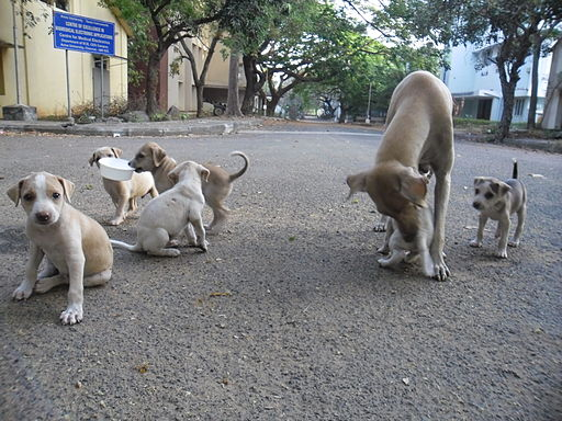 https://i2.wp.com/upload.wikimedia.org/wikipedia/commons/thumb/d/d5/Puppies_in_AU_3.JPG/512px-Puppies_in_AU_3.JPG