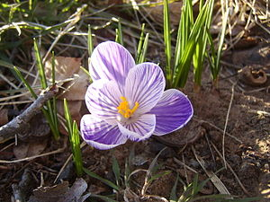 Second Crocus