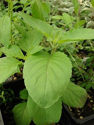 Ocimum tenuiflorum (habit). Location: Maui, Wa...
