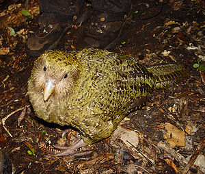 en: Pura, a 1-year-old Kakapo (Strigops habrop...