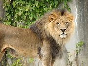Handsome Lion 001.jpg