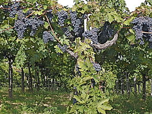 Montepulciano grapes in early October near har...