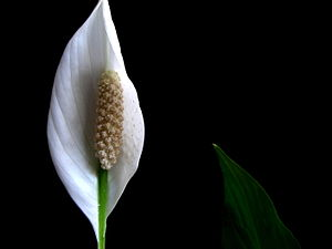A picture of Peace Lily along with its leaf. C...