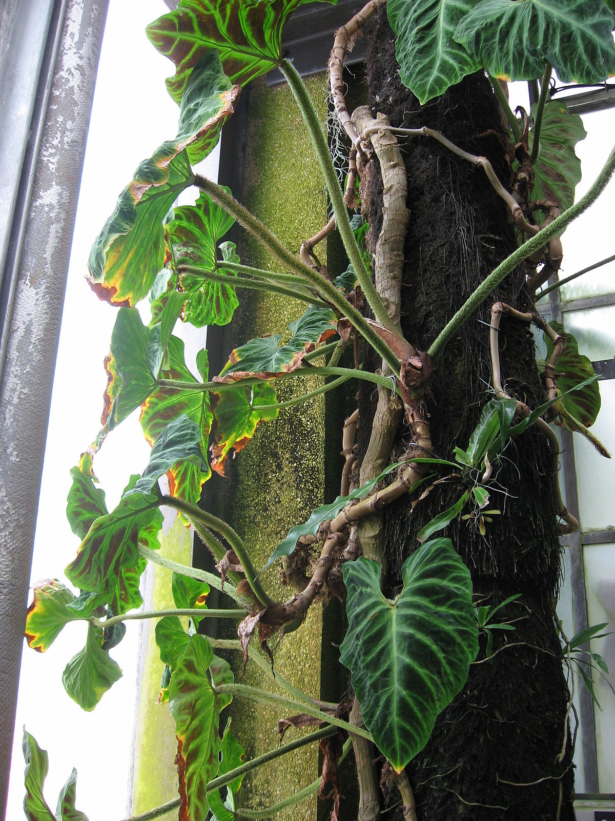 Philodendron Verrucosum Wikipedia