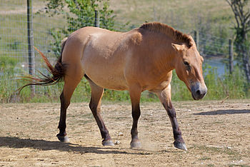Przewalski horse at The Wilds in Ohio.