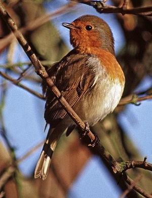 English: Robin (Erithacus rubecula) Here we ha...
