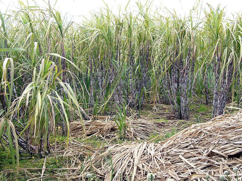 File:Sugar cane madeira hg.jpg
