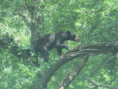 Bear captured on camera at Cades Cove July 2012