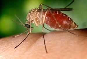 Culex mosquitos (Culex quinquefasciatus shown)...