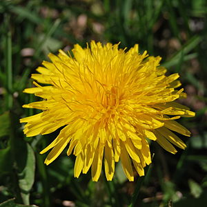 English: Common dandelion, a weed; this specim...