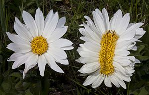 Example of a fasciated flower head, Wyethia he...