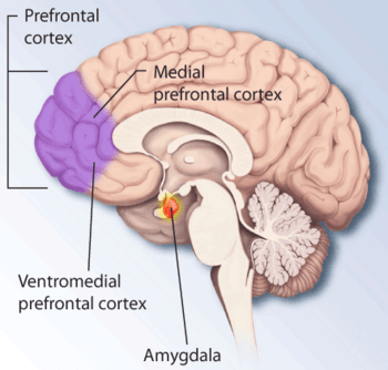 Brain structures involved in dealing with fear...