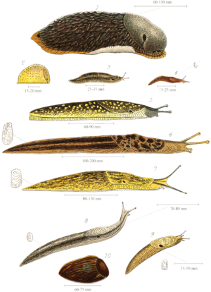 English: Plate with various land slugs