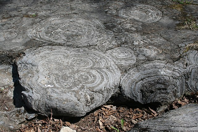 English: Stromatolites in the Hoyt Limestone (...