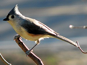 A male tufted titmouse, Baeolophus bicolor, pe...