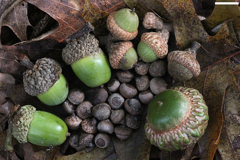 File:Acorns small to large.jpg