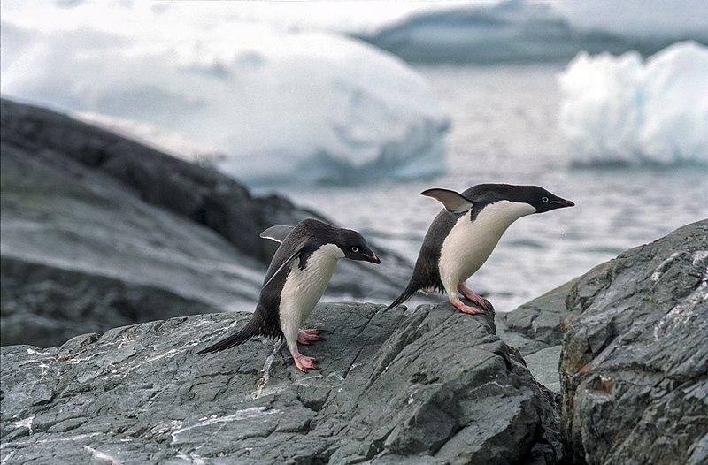 File:Antarctic, adelie penguins (js) 19.jpg