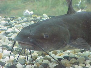 Channel catfish (Ictalurus punctatus) may be f...