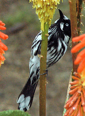 New Holland honeyeater.