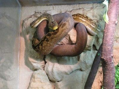 Python timoriensis - Wikipedia