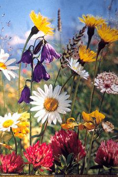 https://i2.wp.com/upload.wikimedia.org/wikipedia/commons/thumb/d/d8/Sommerblumen01.JPG/240px-Sommerblumen01.JPG