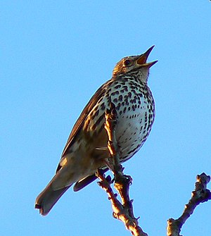 English: Song thrush near Faringdon Folly This...