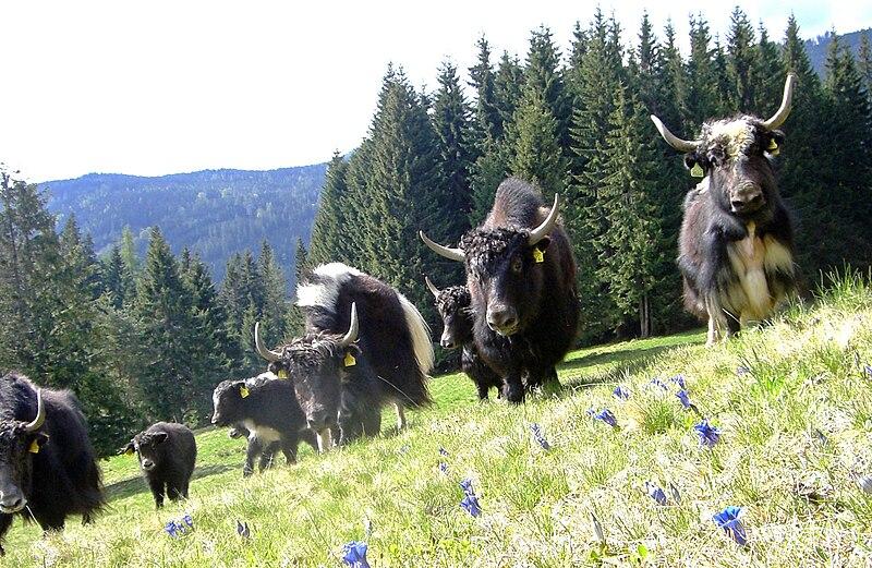 File:Yaks auf der Enzianwiese.JPG