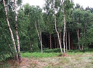 English: Birches in Sherwood Pines Forest Park...