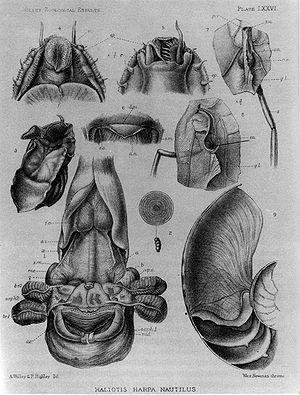 Internal anatomy of Nautilus pompilius