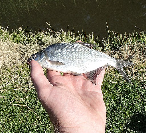 Small bream in hand