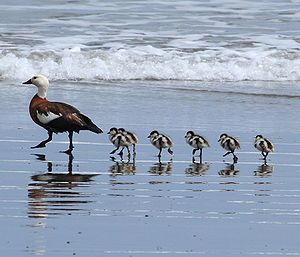 A mother Paradise Shelduck (the Māori name is ...