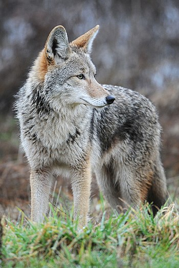 English: Coyote at Ridgefield National Wildlif...