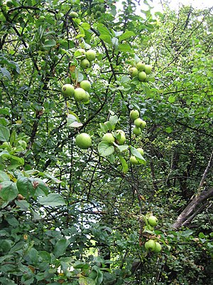 English: Crab Apples, Mains, Beith