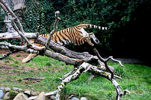 English: Tiger jumps in her exhibit at San Fra...