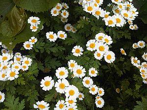 English: Feverfew (Tanacetum parthenium; syn. ...