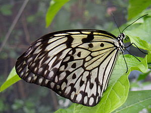 Image taken at Butterfly World idea leuconoe P...