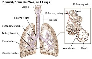 Bronchi, bronchial tree, and lungs.