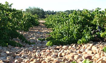 A rocky vineyard with lots of large galet ston...