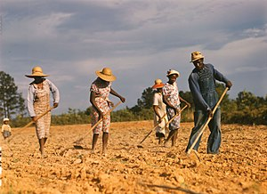 Sharecroppers chopping cotton on rented land n...