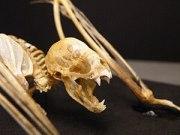 Vampire bat (Desmodus rotundus) skeleton, moun...