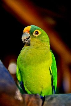 The Peach fronted conure is one of the quiter types of conures