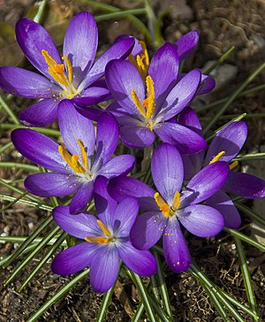 English: crocuses