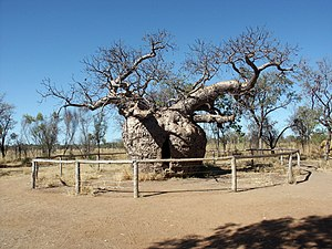 Australian Baobab tree Adansonia gibbosa at De...