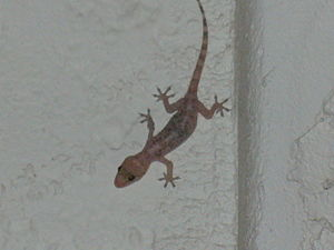 Gecko on front porch