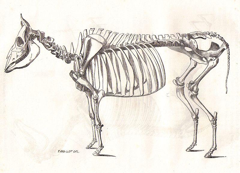 File:SqueletteVacheChauveau1990.jpg